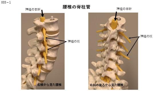腰椎の脊椎管